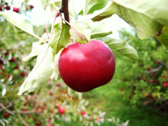 orchard4